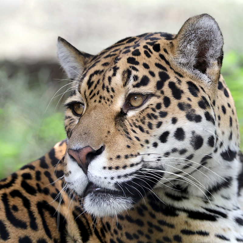 Jaguar • Facts & Information • Rainforest Animals