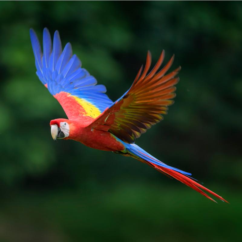 Scarlet Macaw Rainforest Animals